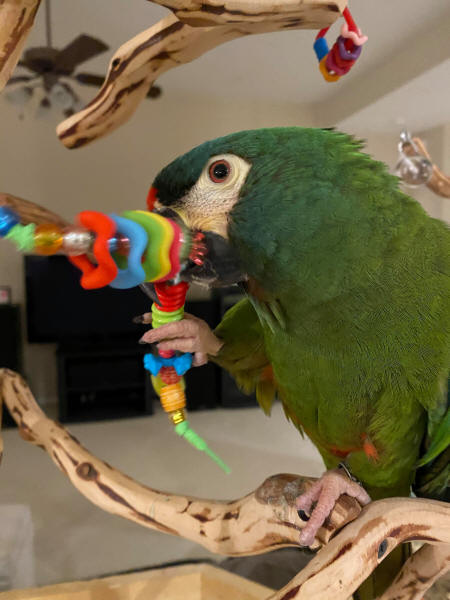 Illiger Macaw Larry loves his Roving Beads
