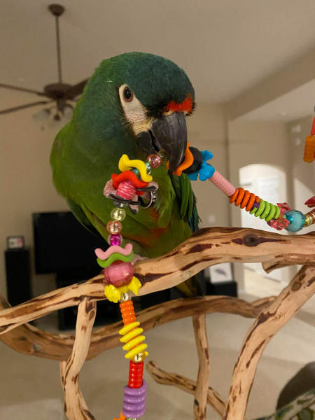 Illiger Macaw Mac loves his Roving Beads